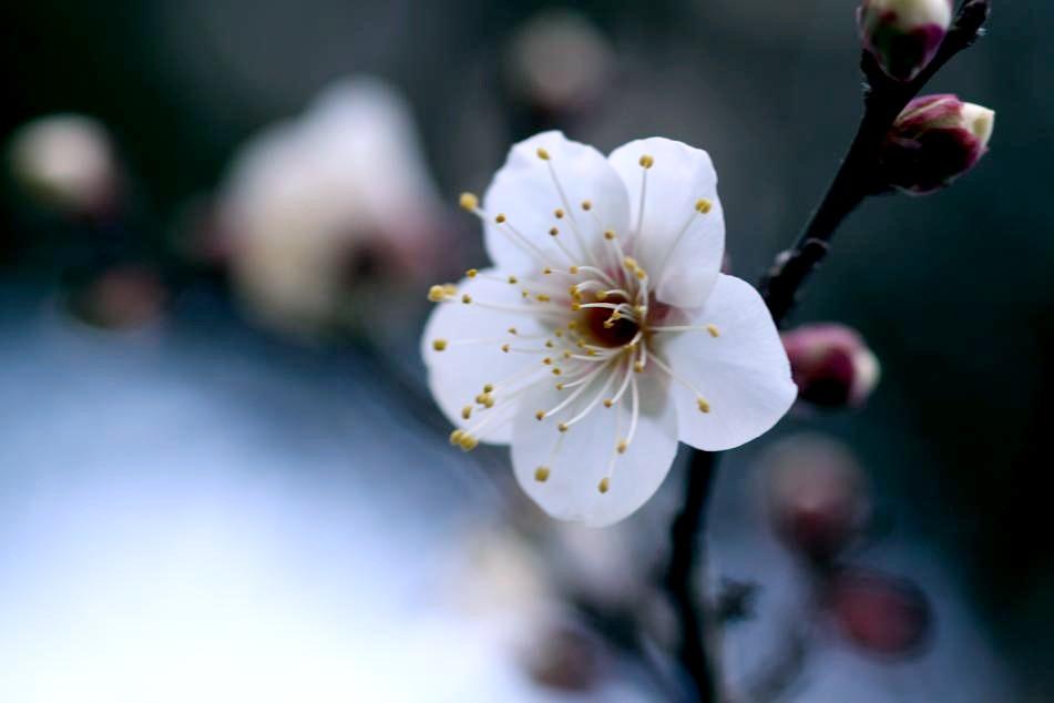 梅の品種 冬至