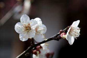 樹齢300年といわれる梅(寿昌梅)