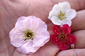 梅の花大きさ比較