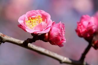 梅の品種・淋子梅(リンシバイ)
