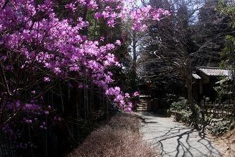 ミツバツツジ(三葉躑躅) 今は咲きはじめですが園内には大きな株が多数あります。