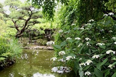 ヤマアジサイと心地池