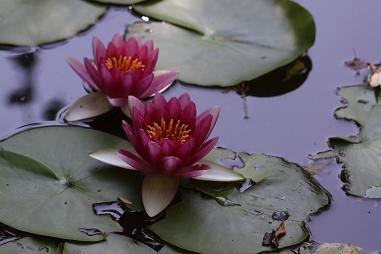スイレン (以下3枚とも) 心地池にひっそりと咲いています。