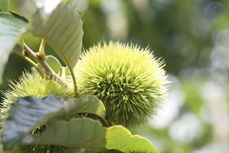 栗のイガもこの季節の風物詩です。