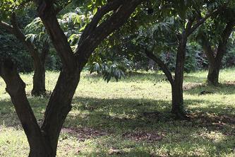 百草園に近づくと栗林が多くなります。
