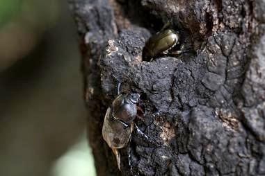 樹液の出るクヌギなどの木にはカブトムシやカナブンも・・・。