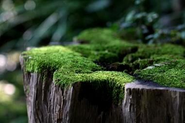 茶室前の藤棚下の苔、静けさが伝わってきます。