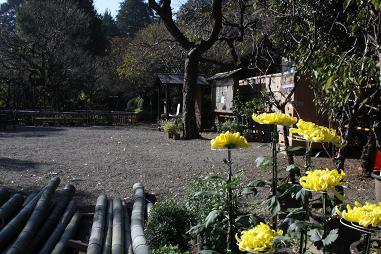 菊が咲き始めました