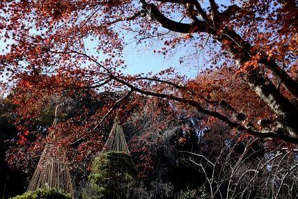 冬の風物詩の雪吊りと晩秋の紅葉