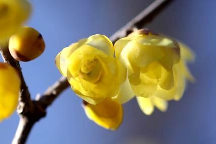 ロウバイ 2分ほど咲き始めました