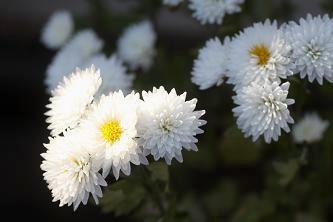 寒菊も少しあります。