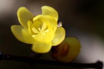 蝋細工のようなロウバイの花