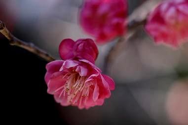 咲き始めの梅(八重寒紅)