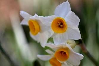 ニホンスイセン(雪で倒れなかった花がいくつか健気に咲いています)