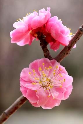 遅咲きの梅・淋子梅(リンシバイ)園内各所に咲いています