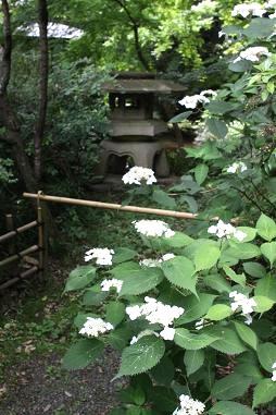 石灯籠とヤマアジサイ