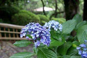 園内のウズアジサイ 装飾花が丸まっているところが特長です