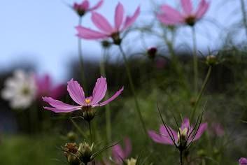 青空とコスモス メキシコ原産の花ですが、なぜか里山の景色にマッチしています