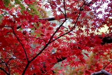 紅葉の品種(オオサカズキ)紅が強くて見ごたえも十分